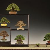 Nomination for Noelanders Trophy \'Shohin XIV,Excellence Award  Bonsai Club International