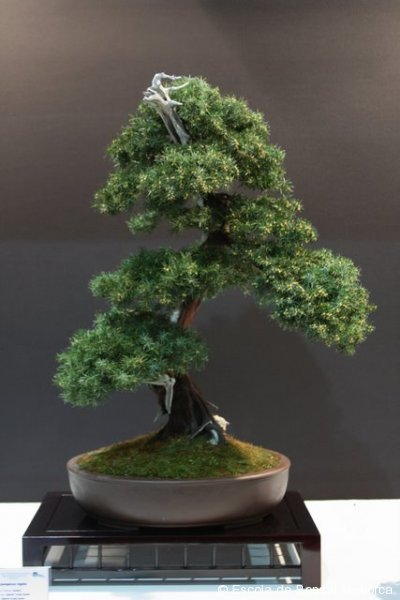 Juniperus chinenesis