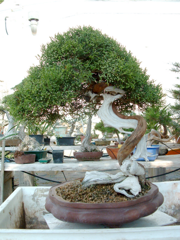 Juniperus turbinata 5